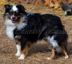 CH, CH Color Country's Full Throttle at Carousel Aussies, a Toy Australian Shepherd male
