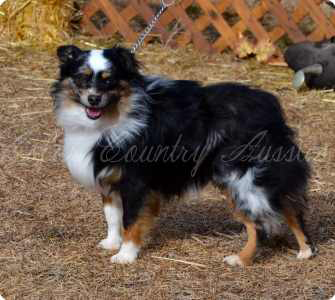 CH, CH Color Country's Full Throttle at Carousel Aussies, at Toy Australian Shepherd male