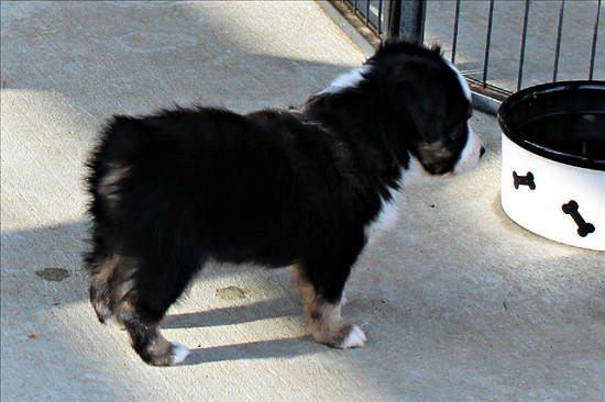 Herd About Texas Wild Bill Hickok at Carousel Aussie, a Toy Australian Shepherd male.