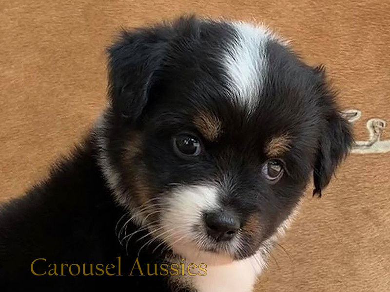 This black tri female should be a medium Toy sized Aussie.