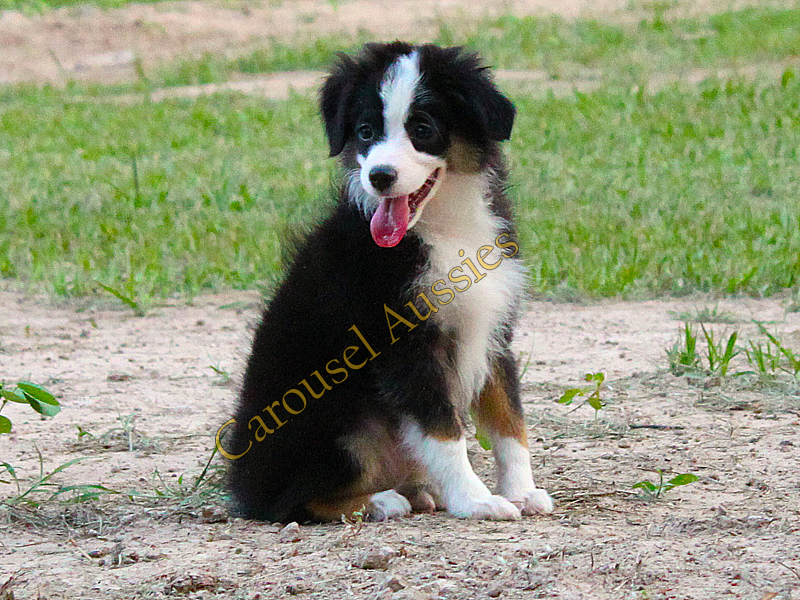 This Black Tri male Toy Aussie is pretty high drive and would make an awesome sports prospect.